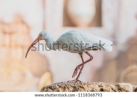 White Ibis Eudocimus albus portrait at Animal Kingdom Orlando Florida #1118368793