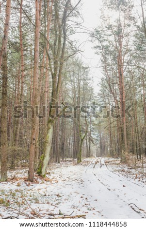 Early spring with the last snow in the pine forest. Nature in the vicinity of Pruzhany, Brest region, Belarus. #1118444858