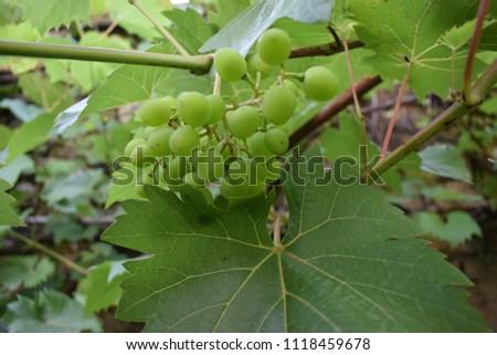 Unripe green grape #1118459678