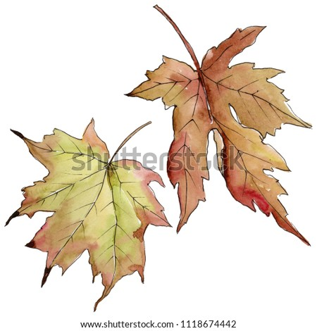 Maple leaves in a watercolor style isolated. Aquarelle leaf for background, texture, wrapper pattern, frame or border. #1118674442