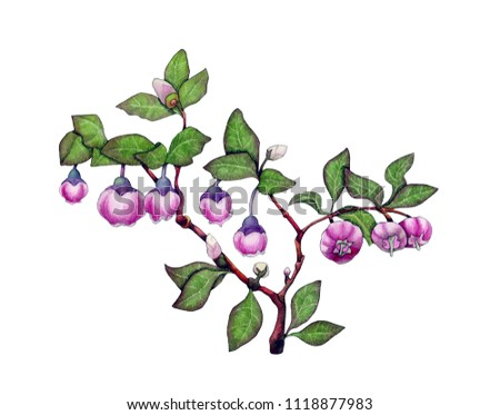 Watercolor illustration of a flowering bilberry branch #1118877983