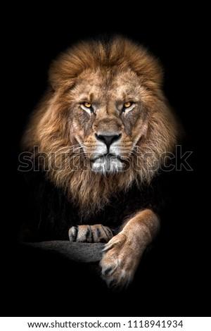 Lion colorful portrait black background #1118941934