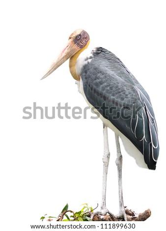Lessor adjutant stork Bird on white background #111899630