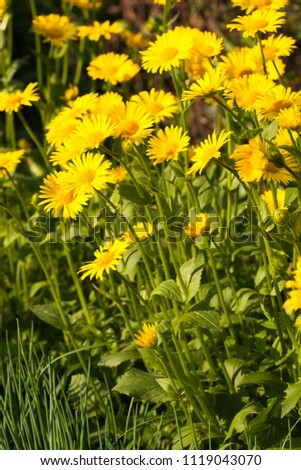 Early Beautiful Yellow Flowers Doronicum Also Known As Leopard's-Banes Growing In Flower Bed In Sunny Day. #1119043070