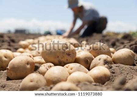 farmer harvesting potato in the farmland #1119073880
