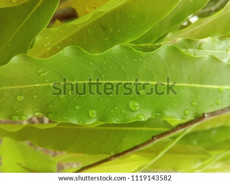 The Green flora of Indian Monsoon. The Monsoon rain drops on the green leaves. Abstract background of green color. The Mumbai heavy rainfall. The Beauty of Monsoon season.  #1119143582