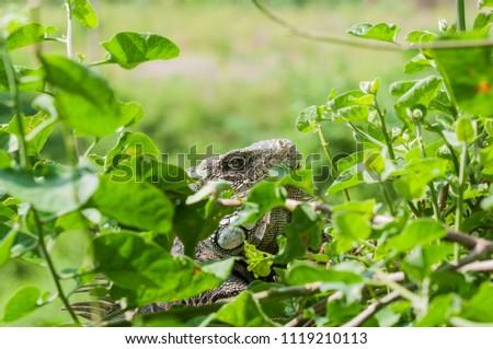 Iguana in green leaves roof, South America, Ecuador. / Iguana, Iguanidae #1119210113