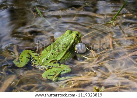 Do not blow your cheeks up, croaking little water frog in the forest pond.  Mostly it is colored grass green and is the smallest water frog type in Germany. #1119323819