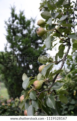 Pear tree hanging on the green garden in the summer garden 2018 #1119528167