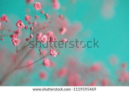 Dry pink baby's breath flowers against a teal background #1119595469
