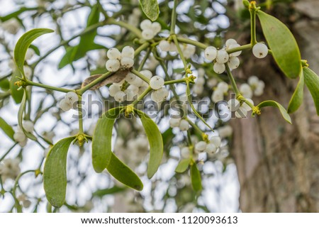 Mistletoe with white berries growing on a tree