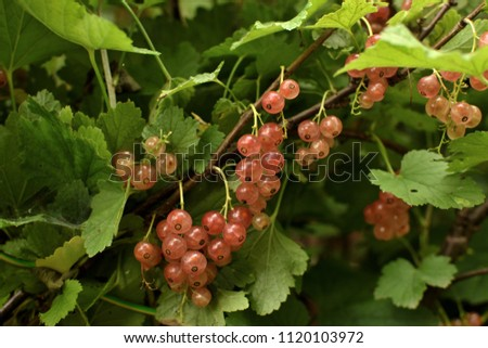 Closeup of ripe sweet pearl pink currant on the branch. selective focus. #1120103972