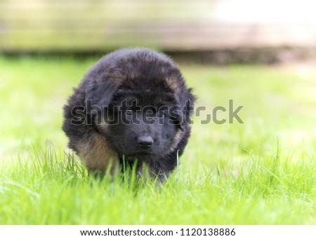 German shepherd puppy dog #1120138886