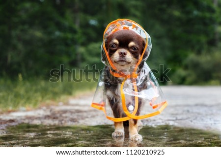 funny chihuahua dog posing in a raincoat outdoors by a puddle #1120210925