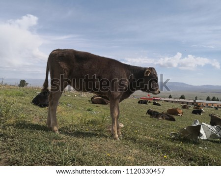 cow on the grasslands #1120330457