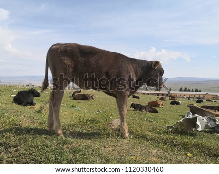 cow on the grasslands #1120330460