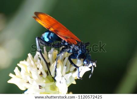 Pepsi Wasp - Tarantula Hawk