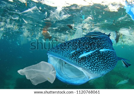 Plastic ocean pollution. Whale Shark filter feeds in polluted ocean, ingesting plastic    #1120768061