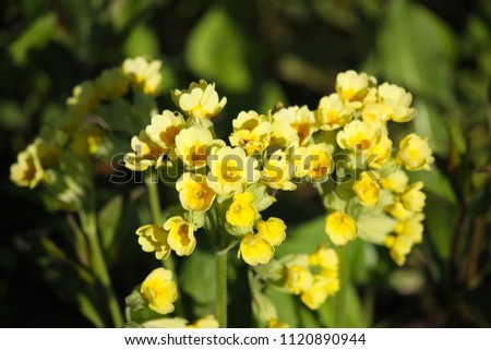Beautiful Cowslip flowers closeup by a natural green background #1120890944