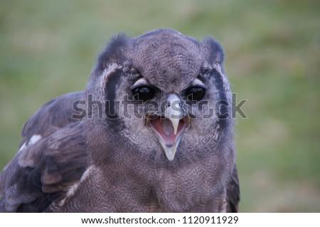 Owl with beak open. #1120911929