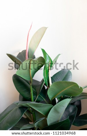 Ficus elastica in front of beige wall #1121034968