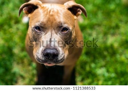 Curious Brown Pitbull Squinting at Camera
