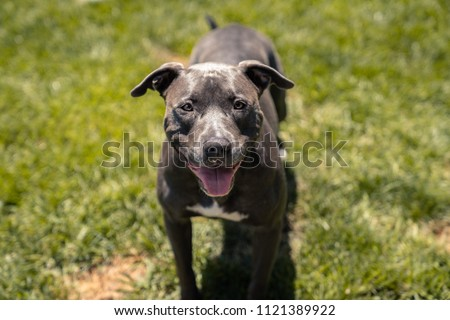 Blue/Grey Pitbull Panting/Smiling Close Up with Green Grass Background
