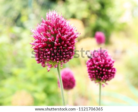 Allium Drumstick, also known as sphaerocephalon, produces two-toned, Burgundy-Green flower heads. The flowers open green, then start to turn purple. Amaryllidaceae family. #1121706365