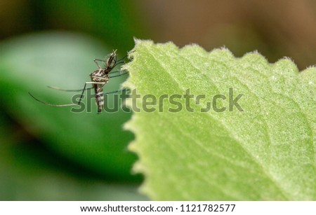 male mosquito is catching on the tree leaf  #1121782577