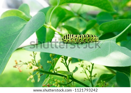 Green caterpillar on lilac leaf, caterpillar in nature #1121793242