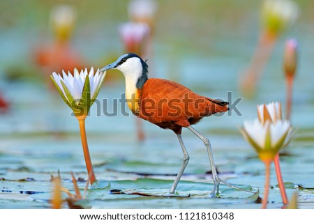 African jacana, Actophilornis africana, colorful african wader with long toes next to violet water lily in shallow water of seasonal lagoon, Botswana,Okavango delta. Bird with flower bloom. Royalty-Free Stock Photo #1121810348