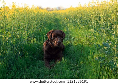 chocolate labrador lies on the trail in the green field, sunset time #1121886191