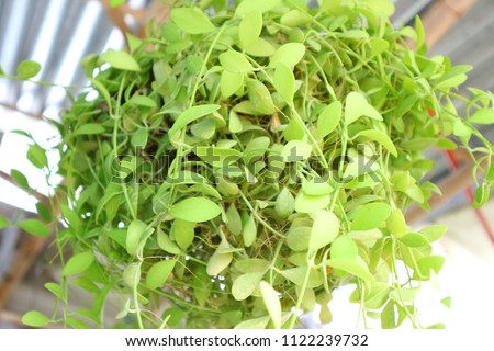 Dave Bag is a very popular plant. Especially for decoration. The look of Dave Bag is a roach. It is popular to hang the balcony decorated #1122239732