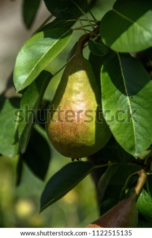 Growing pears on a branch.Pears on tree in fruit garden.Group of ripe healthy yellow and green pears growing on the branch of a pear tree, in a genuine organic orchard.Ripe pears ready for harvest. #1122515135