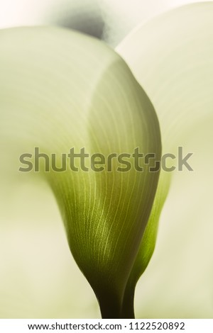 Calla lily extreme close up texture of the plant spathe from outside. Botanical concepts, macro photography shot in studio. Texture of a beautiful calla lily - Fragility concept. #1122520892
