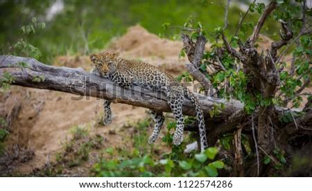 Cub leopard relaxing on a tree. #1122574286