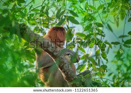 Big male  Proboscis monkey (Nasalis larvatus) - long-nosed monkey (dutch monkey) in his natural environment in the rainforest on Borneo (Kalimantan) island with trees and palms behind. #1122651365