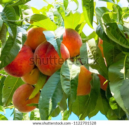 Ripe tasty peach on tree in sunny summer orchard. Peach tree with fruits growing in the garden. nature peaches growing among green leaves,  summer concept #1122701528