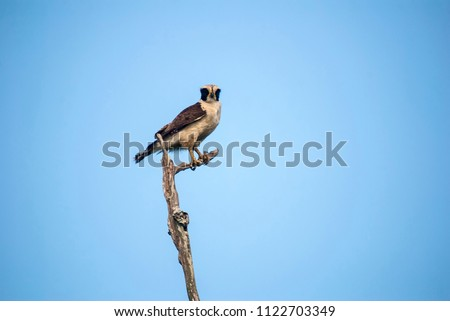 Laughing Falcon photographed in Guarapari, Espírito Santo - Southeast of Brazil. Atlantic Forest Biome. Picture made in 2007.