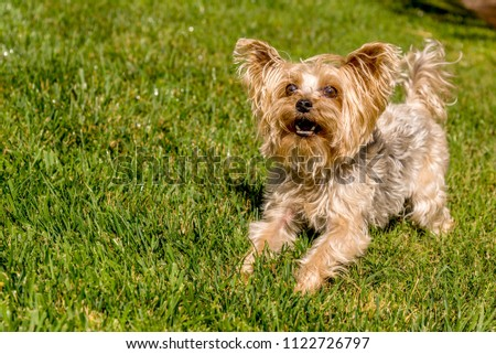 Little Yorkshire Terrier playing an grass. Yorkie Dog #1122726797