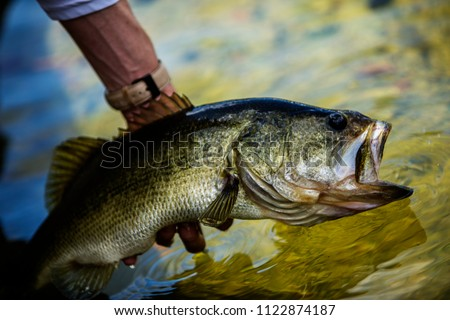 Big Largemouth Bass Royalty-Free Stock Photo #1122874187