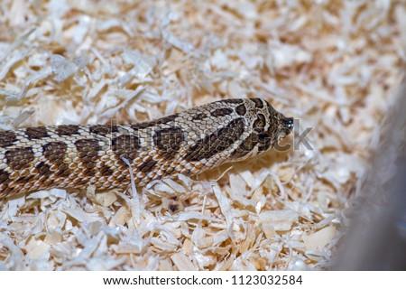close up hognose snake #1123032584