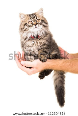 Caring human hands holding lovely Persian kitten on isolated white background #112304816