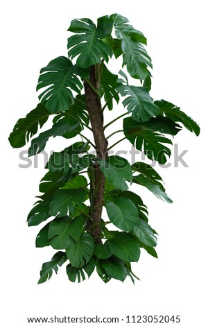 Monstera deliciosa Liebm ( Mexican breadfruit or Swiss cheese plant) Tropical Green Leaves foliage, Jungle Plant bushes isolated on white background with clipping path included. #1123052045
