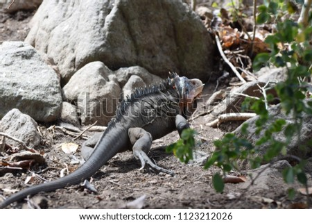 A Lesser Antillean iguana (Iguana delicatissima) on St. Eustatius. This particular individual has colored glass beads with a unique color code by its neck, as part of a monitoring program.  #1123212026