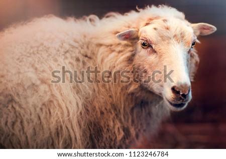 Portrait of a sheep. Farm. Cute wild animal.