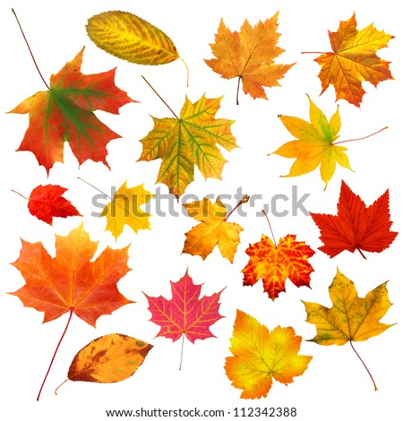 collection beautiful colorful autumn leaves isolated on white background #112342388