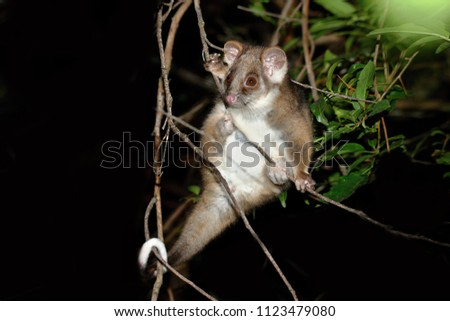 "The common ringtail possum (Pseudocheirus peregrinus, Greek for ""false hand"" and Latin for ""pilgrim"" or ""alien"") is an Australian marsupial. It lives in a variety of habitats and eats."