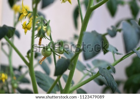 Small yellow tomato flower #1123479089