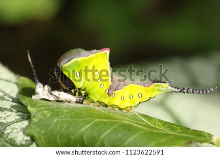 A Puss Moth Caterpillar (Cerura vinulais) resting on an Aspen tree leaf (Populus tremula) in woodland just after it has shed its skin. #1123622591